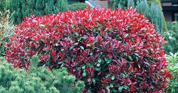 16 Evergreen Shrubs With Amazing Foliage For Year Round Color